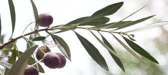 Proprietà e benefici delle foglie di olivo e dell'olio extravergine di oliva